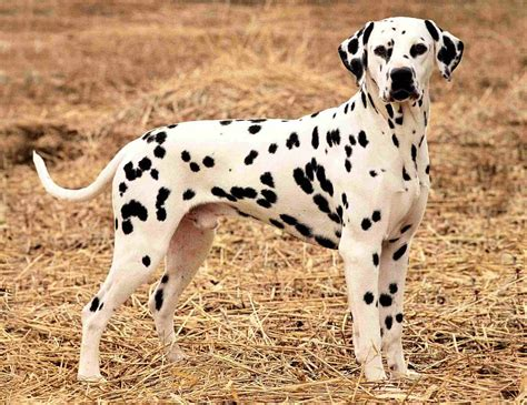 Do Dalmations Shed dalmatian all big breeds