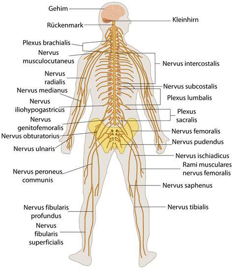 innere organe des menschen schaubild innere organe menschen schaubild nervensystem