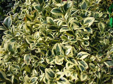 gardensonline buxus sempervirens variegata