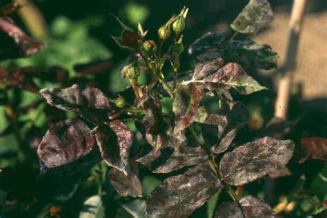 Schädlinge Im Garten 2838 by Echter Mehltau Bek 228 Mpfung Echter Mehltau Schadbild Und