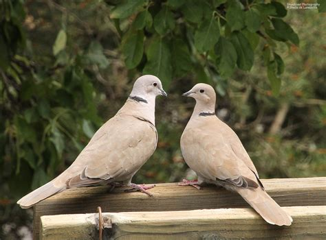 sbs eurasian collared dove wolf song blog