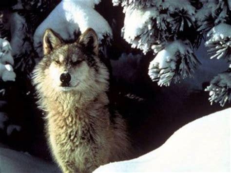 Interior Species by Wolf Species The Interior Alaskan Wolf