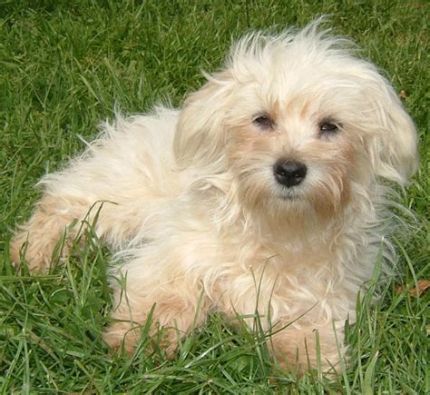 pictures of maltese dogs valley view maltese poodle breeders maltese pictures pictures