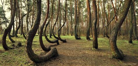 mysterious crooked forest in west pomerania poland mysterious crooked forest in west pomerania poland