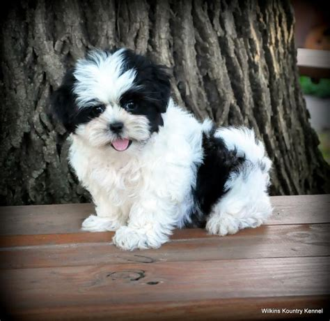 malshi puppies for sale in nc mal shi puppies breeders missouri malshi mal shi puppies for sale pups puppy breeder