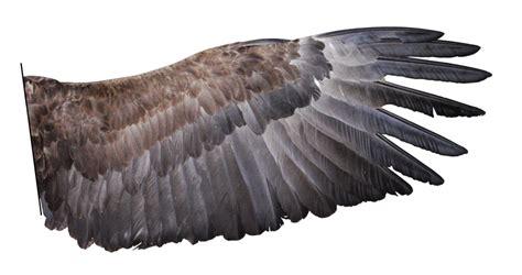 imagenes reales red wings eagle wing the revelation of jesus christ