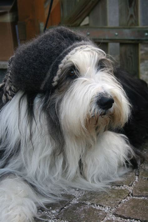 bearded collie puppy best 25 bearded collie ideas on bearded collie puppies