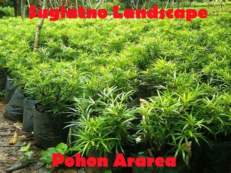 pohon ararea penjual tanaman hias tukang taman
