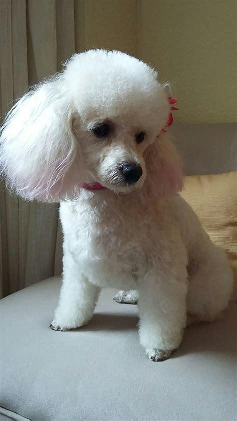 poodle puppy cut poodle poodle poodle and poodle cuts