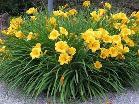 Stelan Flower daylily stella de oro perennials vines live goods