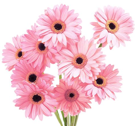 02 Tk Mukena Flower Pink mankind has declined transparent flowers pink daisies