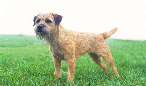 Border Terrier Shed by Border Terrier Breed Information
