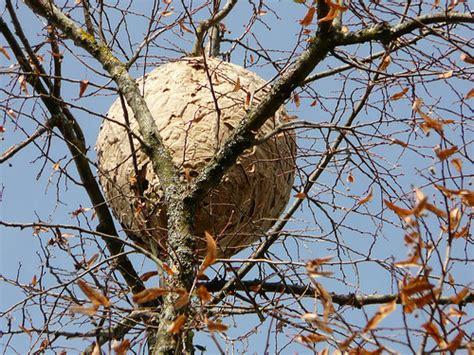 nid de frelons sous les tuiles frelon asiatique vailhauqu 232 s