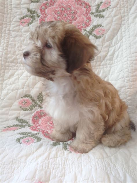 havanese puppies for sale houston 8 2 hush harbor havanese puppies for sale