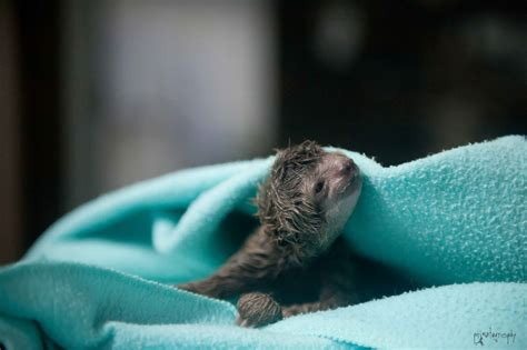 first c section ever performed veterinarians perform first sloth c section the