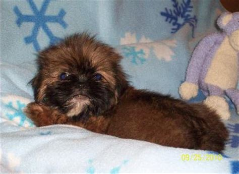 shih tzu puppies in arkansas shih tzu puppies for sale in arkansas