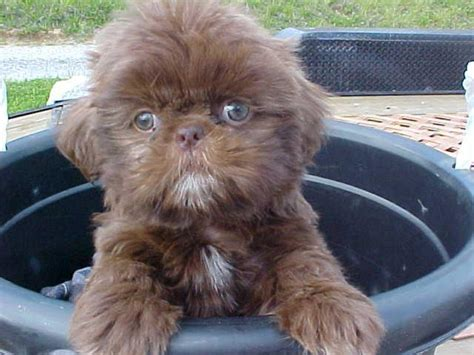 shih tzu ky green eyed small shih tzu puppies akc in hoobly classifieds