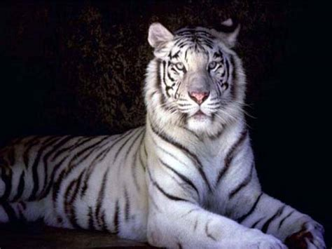 Tiger White information and facts about tigers and types of tigers and