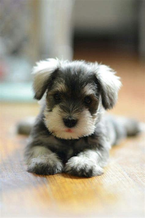 schnauzer dogs miniature schnauzer meurig kennels
