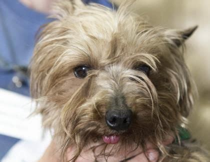 puppy mill rescue colorado springs 25 best ideas about yorkie puppies for adoption on teacup yorkie for