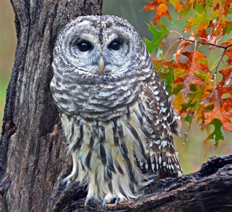 here come the barred owls birdnote