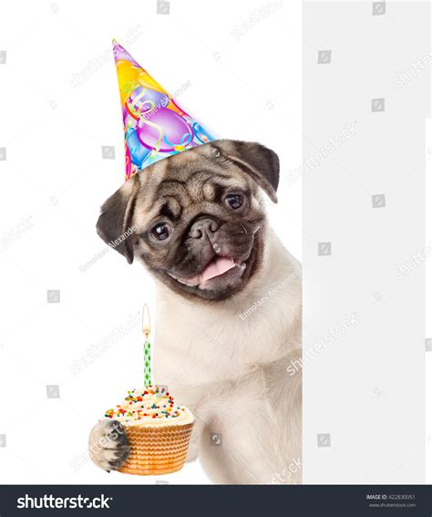pug with birthday hat pug puppy birthday hat holding cake stock photo 422830051