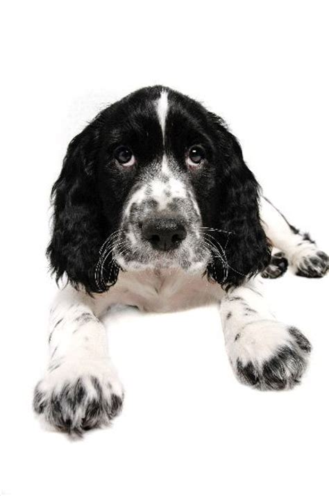 english setter therapy dog top 25 best english springer spaniels ideas on pinterest