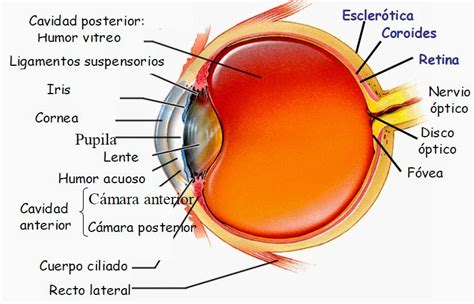 imagenes de los ojos y sus partes la visi 243 n partes del ojo