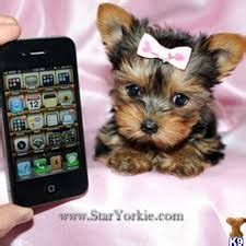where can i buy teacup yorkies 1000 images about teacup yorkies on puppys graduation and two dogs