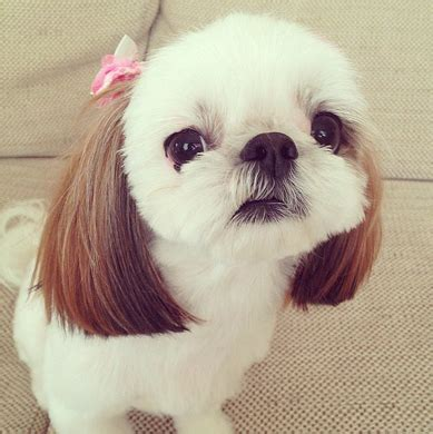 shih tzu soft learn about the shih tzu chihuahua mix aka shichi chi tzu soft and fluffy