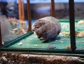 groundhog day 2015 staten island zoo with panda markings born at staten island zoo ny