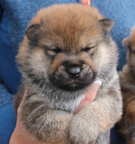 shiba inu puppies california booking a puppy from kortmar shiba inu kortmar shiba inu kortmar manor