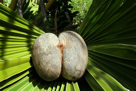 coco de mer fruit surviving almost impossible odds how the seychelles coco