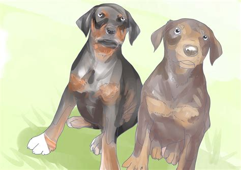how to a doberman puppy how to buy a doberman pinscher puppy 5 steps with pictures