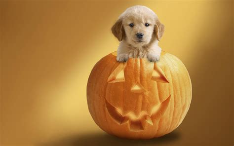 pumpkin and dogs in pumpkin wallpapers and images wallpapers pictures photos