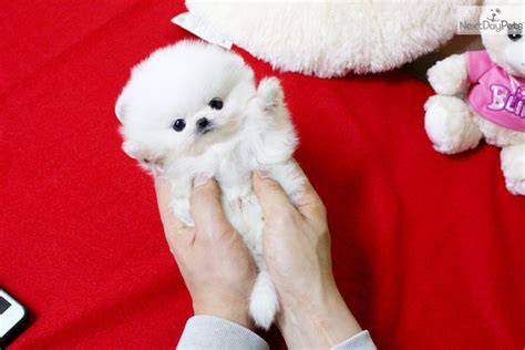teacup pomeranian puppies for sale in alabama cheap teacup pomeranian puppies for sale hd wallpapers and pics for android