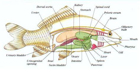 diagram of fish fish anatomy
