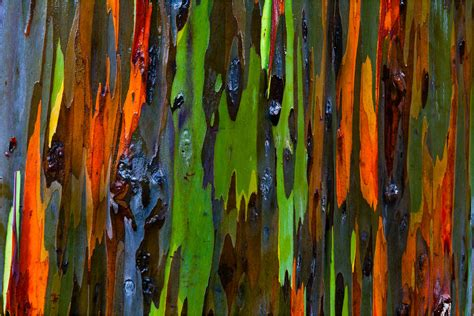 rainbow eucalyptus bark abstract 169 2011 christopher martin