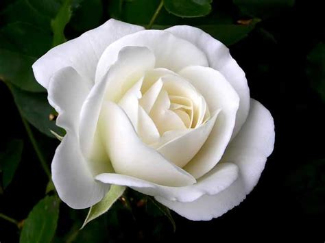 Jual Bibit Bunga Mawar Putih Jual Benih Bibit Bunga Mawar Putih White Import Onigiri Frenzy