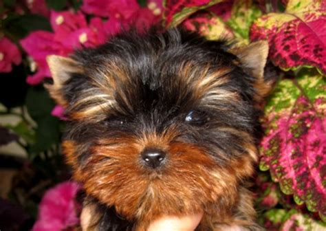 puppies for sale midland tx teacup yorkie puppies yorkie breeder yorkshires for sale