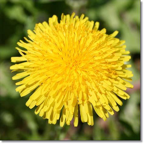 ricette con fiori di tarassaco 3 idee per i fiori di tarassaco 3 idea with dandelion