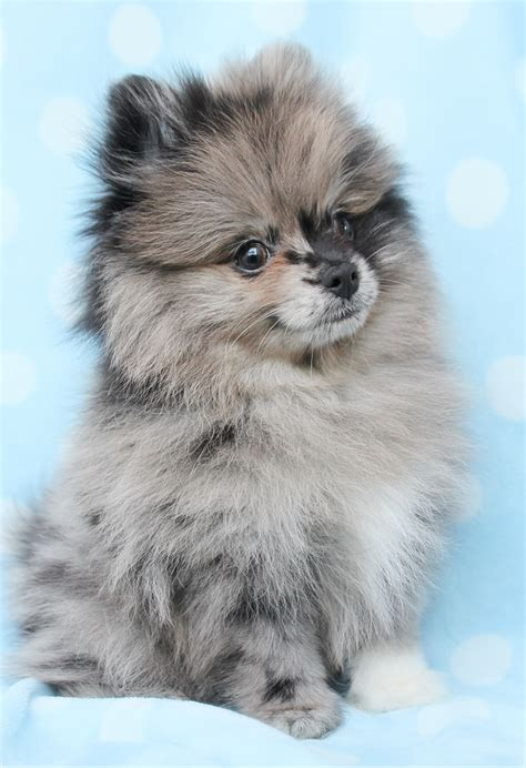 pomeranians for sale in pomeranian puppies and teacup pomeranians for sale at teacups future