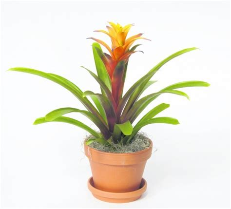 how to care for tropical house plants easy to care for bromeliads make excellent house plants
