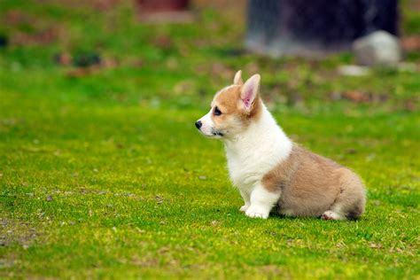 white corgi puppies and white cardigan corgi puppy on grass field in selective focus photography