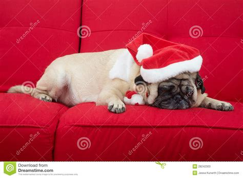 pug on couch pug sleeping on couch stock photos image 28242303