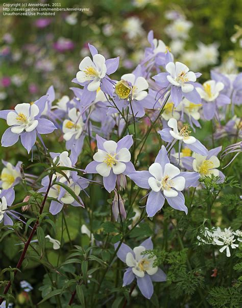 plantfiles pictures colorado blue columbine rocky