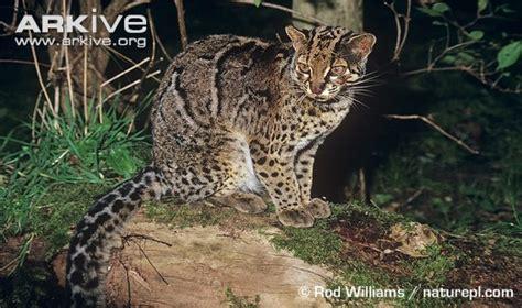Bulu Macan Balastic 4 5kg mengenal species kucing nusantara cakrawala