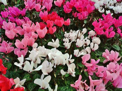 ricanti fioriti resistenti al freddo giardino fiorito d inverno ecco i fiori che resistono al