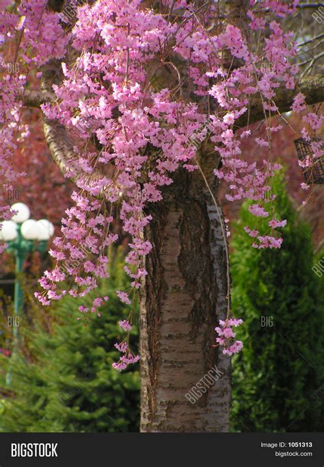 weeping cherry blossom tree size www imgkid the image kid has it