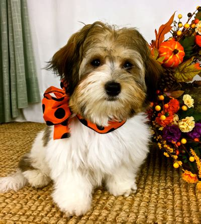 havanese puppies michigan havanese puppies for adoption in michigan